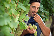Man Eating Grapes In Vineyard stock photo
