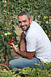 Man Picking Tomatoes In Garden stock photography