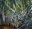 Mangrove Forest,Close Up Shot stock photography