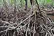 Fairytale Mangrove Forest Looks Like Very Terrible Place stock photo