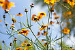 Many Yellow Flowers Against Blue Sky stock photography
