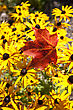 Maple Leaf Autumn Against Yellow Flowers Canada stock photo