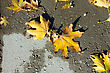 Maple Leaves On The Asphalt After Rain
