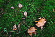 Grass Maple leaves on the ground in autumn stock photo