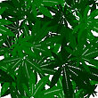 Marijuana Leaves Seamless Pattern Design