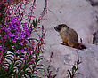 Marmot Pup Sits On A Sunny Rock By Some Fireweed Flowers. stock image