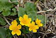 Marsh Marigold (Caltha Palustris) Spring On The Banks Of The Stream