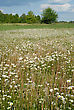 Meadow Covered With Flowers Camomile And Dandelion Taraxacum Officinale In The Middle Of Summer