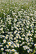 Flowers Meadow Covered With Flowers Camomile In The Middle Of Summer stock photography