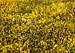 Meadow Of Yellow Flowers, California, USA stock photography