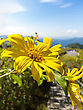 Mexican Sunflower Weed With Blue Sky In North Of Thailand stock image