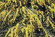 Mimosa Tree Yellow Flowers Background. stock image