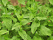 Mint In The Garden , Close Up stock photography