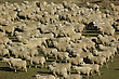 Stock Mob Of Sheep On A Farm In Marlborough, South Island, New Zealand stock photo