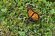 Flutter Monarch Butterfly (Danaus Plexippus) Walking Along The Ground stock photo