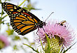 Monarch Butterfly On A Burdock Flower stock image