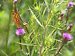 Monarch Butterfly On Pink Flower On Green Leaf stock photography
