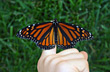 Monarch on Persons Finger