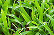 Morning Dew On Grass Background