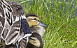 Younganimal Mother Duck And Babies Hidden In Saskatchewan Canada stock photo