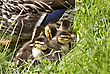 Mother Duck And Babies Hidden In Saskatchewan Canada stock image