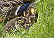Younganimal Mother Duck And Babies Hidden In Saskatchewan Canada stock image