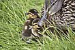 Mother Duck And Babies Hidden In Saskatchewan Canada stock photo