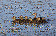 Mother Duck And Babies In A Row Canada stock photo
