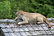 Panther mountain lion laying on a roof stock photography