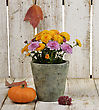 Mums Flowers And A Pumpkin On Wooden Background