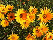 Namaqualand daisies stock photography