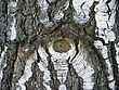 Natural Bark Of Old Birch Tree stock photography