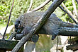 New World Porcupine Sleeping On The Tree stock photography