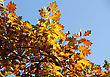 Oak Yellow Leaves On Blue Sky Background