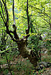 Old Hollow Leafless Twisted Tree In Forest