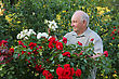 Old Man - Grower Of Roses Next To Rose Bush In His Beautiful Garden stock photo