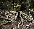Soil Old Pine Tree Roots In A Deep Forest stock photography