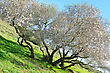 Old And Very Big Almond Tree In Bloom stock image
