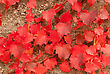 Old Wall Covered With Scarlet Red Leaves Is Closeup For The Texture