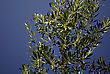 Olive Tree Branch Full Of Green Olives Against Clear Blue Sky At Sunny Summer Day stock photo