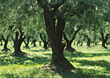 Olive Trees, Tuscany, Italy stock photo
