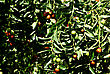 Olives On Tree At Sunny Sumer Day stock photography