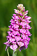 One Of The Few Northern Orchids, Spotted Orchis (Orchis Maculata) stock photography