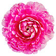 One Pink Flower Ranunculus Isolated On White Background stock image