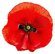 One Red Poppy Isolated On White Background stock photography