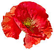 One Red Poppy With A Side View Isolated On White Background stock photography