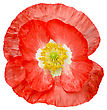 One Red Poppy With White Middle And Yellow Stamens Isolated On White Background stock image