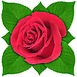 One Red Rose With Green Leaf Close-up Studio Photography