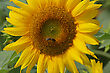 One Sunflower With Bee In Summer Day stock photo
