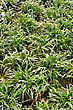 Ophiopogon Japonicus, Evergreen Sod-forming Perennial Plant In The Garden stock image